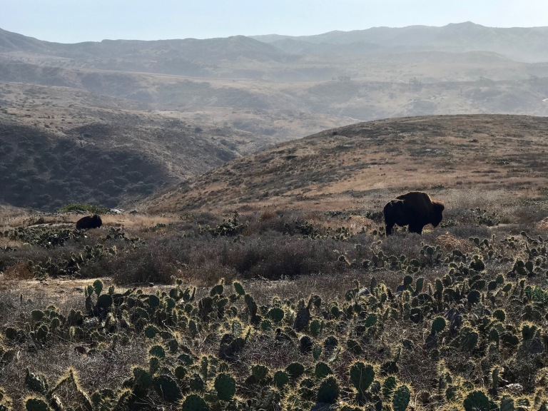 Bison graze along the hillside